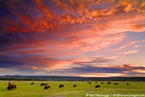 Buffalo at sunset, Midway Geyser Basin, Yellowstone National Park, Wyoming.