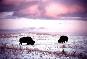 Bison are often called the great shaggies. Thick coats and massive size give them strong consitutions.